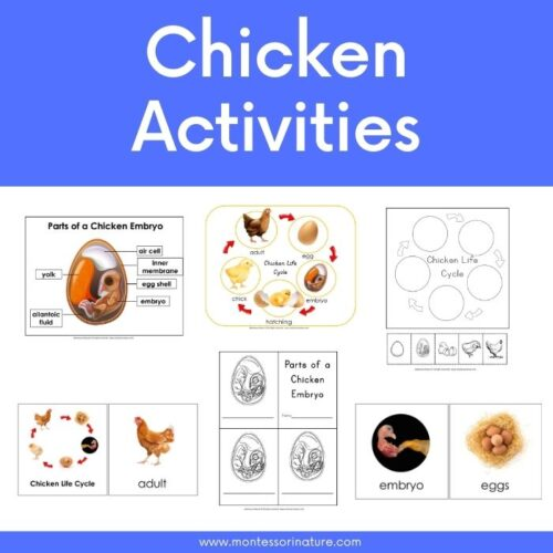 Life cycle of a chicken printables